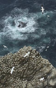Cliff top view of a gannet (Morus bassanus) colony. Shetland Islands, Scotland, UK, July.