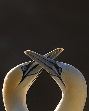 Gannet (Morus bassanus) breeding pair during part of their elaborate courtship ritual. Saltee Islands, Republic of Ireland, May.