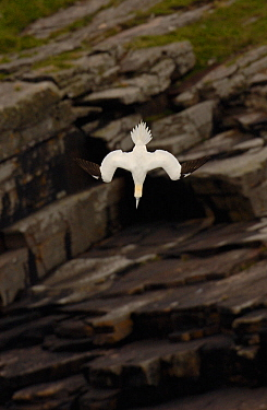 Gannet (Morus bassanus) adult diving, Shetland Islands, Scotland, UK, July