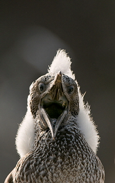 Gannet (Morus bassanus) chick with fluffy with mouth open. Shetland Islands, Scotland, UK, August.