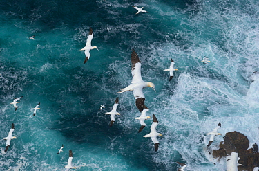 Northern gannets (Morus bassanus) in flight in  Force 8 gales above raging seas. Shetland Islands, Scotland, UK, September.