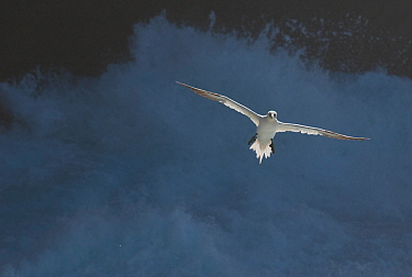 Gannet (Morus bassanu) adult in flight against stormy seas. Shetland Islands, Scotland, UK, September.