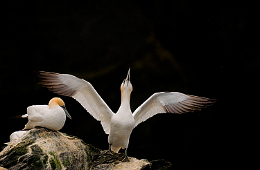 Gannet (Morus bassanus) adult stretching its wings. Shetland Islands, Scotland, UK, September.