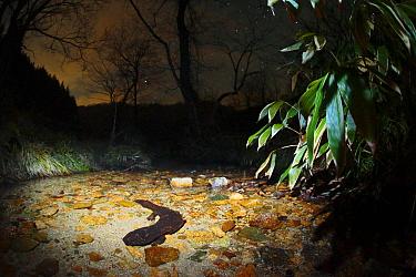 Japanese giant salamander (Andrias japonicus)  hunting at night, Hino-river, Tottori-ken, Japan, March