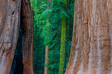 Giant Sequoia (Sequoiadendron giganteum) in Sequoia National Park, California, USA.