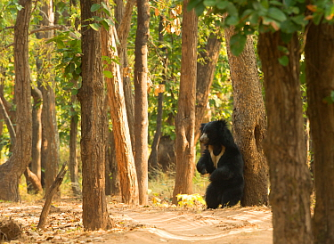 Adult Sloth Bear (Melursus ursinus) scratching its back against a tree, Bandhavgarh National Park, India, February.