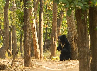 Adult Sloth Bear (Melursus ursinus) scratching its back against a tree, Bandhavgarh National Park, India, February.