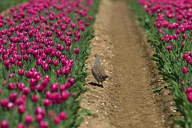 Grey Partridge (Perdix perdix) in tulip field, Norfolk