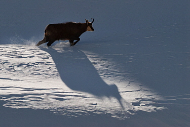 Chamois (Rupicapra rupicapra) walking, casting shadow on the snow, Alps, Gran Paradiso National Park, Italy. November 2008