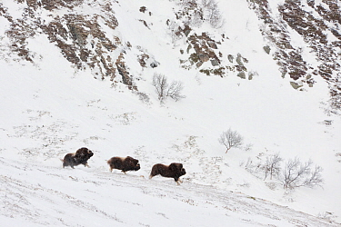 Muskox (Ovibus moschatus) herd, in the Dovrefjell-Sunndalsfjella National Park, Norway. February