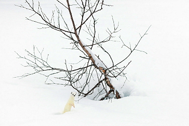 Stoat (Mustela erminea) in white winter coat in snow, Vauldalen, Sor-Trondelag, Norway.April