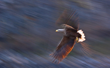 White-tailed eagle (Haliaeetus albicilla) in flight, Norway, April