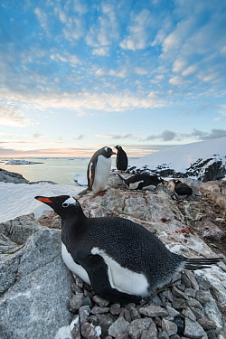 Gentoo Penguin (Pygoscelis papua) nesting, Petermann Island, Antarctic Peninsula, Antarctica