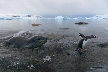 Leopard seal (Hydrurga leptonyx) hunting Gentoo Penguin (Pygoscelis papua) into shore, Cuverville Island, Antarctic Peninsula, Antarctica