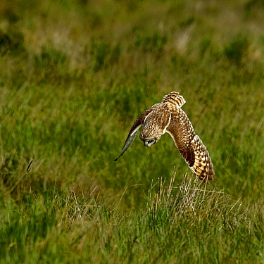 Short-eared Owl (Asio flammeus) diving at prey, Breton Marsh, West France, April