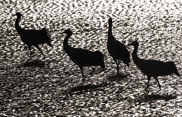 Black-necked crane (Grus nigricollis) in black and white silhoutte. Napa Lake, Yunnan province, China. Vulnerable species.