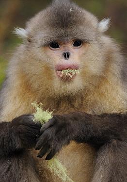 Yunnan Snub-nosed monkey (Rhinopithecus bieti) feeding on lichen, Ta Chen NP, Yunnan province, China.