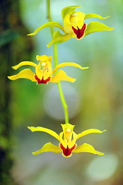 Low's cymbidium (Cymbidium lowianum) endemic tree orchid, Gaoligongshan NP, Yunnan province, China