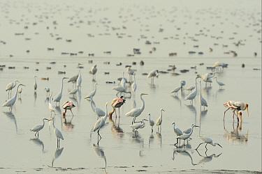 Spot-billed Pelican (Pelecanus philippinensis) Great white egret, (Casmerodius albus) Little egret (Egretta garzetta) Eurasian flamingo, (Phoenicopterus roseus) Spoonbill (Platalea leucrodia) reflecte...