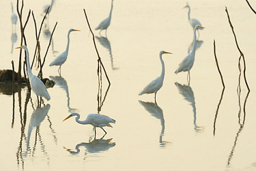 Great white egrets (Casmerodius albus) reflected in Pulicat Lake, Tamil Nadu, India, January 2013.