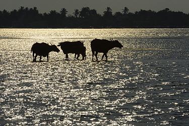 Water buffalo (Bubalus bubalis) Pulicat Lake, Tamil Nadu, India, February 2013.
