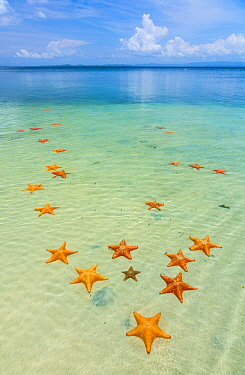 Starfish Beach, with many starfish in the shallow sea (Asteroidea) Colon Island, Bocas del Toro Archipelago, Bocas del Toro Province, Panama,