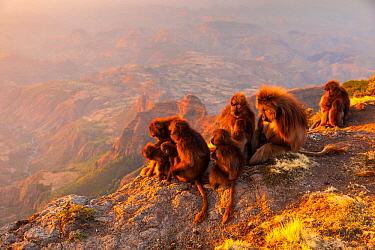 Gelada baboon (Theropithecus gelada) troop, Simien Mountains, Ethiopia, Africa