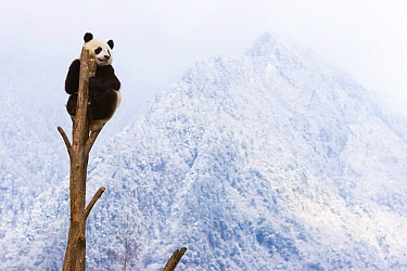 Giant panda (Ailuropoda melanoleuca) at the top of a tree, Sichuan, China, January