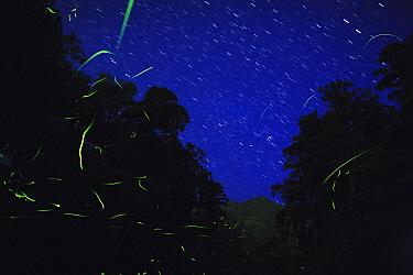 Japanese fireflies (Luciola cruciata) in flight at night, endemic species, Yaku-shima UNESCO World Heritage Site, Kagoshima,  Japan, May