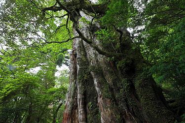 Ancient tree, Yakushima Island, UNESCO World Heritage Site, Kagoshima Japan, June 2008