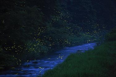 Japanese fireflies (Luciola cruciata) in flight at night, Japan endemic species, Hino-River, Nichinan-chou, Tottori, Japan, July