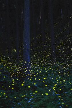 Japanese fireflies (Luciola cruciata) in flight at night, Japan endemic species, Nichinan-chou, Tottori, Japan, July