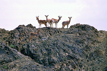 Urial (Ovis orientalis arkal) herd standing on rocks,  Touran Protected Area, now part of Khar Turan National Park, Semnan Province, Iran