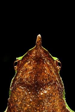 Portrait of a Darwin's Frog (Rhinoderma darwinii) Chile, Vulnerable species