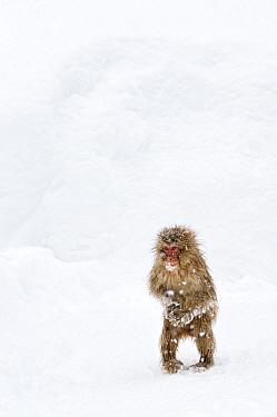 Japanese Macaque (Macaca fuscata) juvenile standing up with feet pointed inward, Jigokudani, Japan, January