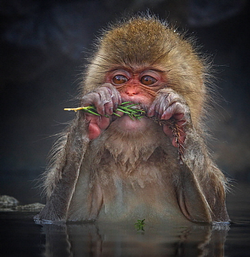 Japanese Macaque (Macaca fuscata) biting needles from tree branch while sitting in hot spring in Jigokudani, Japan, January
