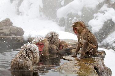 Japanese Macaque (Macaca fuscata) females gather at one end of the hot springs, Jigokudani, Japan, February