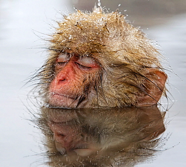 Japanese Macaque (Macaca fuscata) young one, appearing quite relaxed in thermal pool, even falling asleep, in Jigokudani, Japan, February