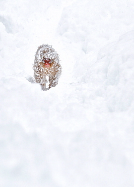 Japanese Macaque (Macaca fuscata) juvenile approaches the hot springs and feeding area covered in icy snow from the cold night before in Jigokudani, Japan, January