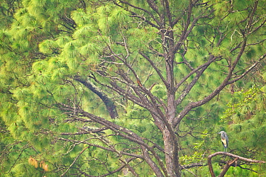 White-bellied Heron (Ardea insignis) in tree, Punasangtchu, Bhutan. Critically endangered species.