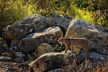 Wild Iberian Lynx (Lynx pardinus) male walking on rocks, Sierra de Andujar Natural Park, Jaen, Andalucia, Spain