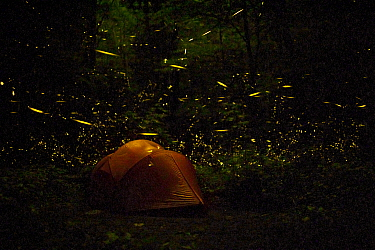 Tent at night surrounded   by Fireflies (Photinus carolinus) Great Smoky Mountains National Park, Tennessee, USA, June 2013.