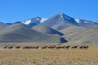 Herd of Tibetan Wild Asses / Kiang (Equus kiang) ChangThang, Tso Kar lake, at altitude of 4600m, Ladakh, India, October 2012