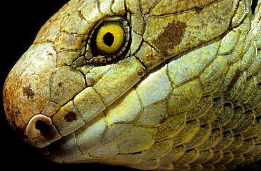 Solomon islands / large prehensile-tailed Skink (Corucia zebrata) Solomon islands