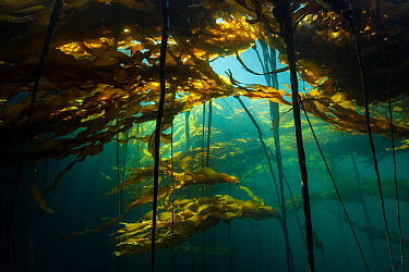 Scenic view of a bull kelp forest (Nereocystis luetkeana) with sunlight shining through the fronds. Browning Pass, Port Hardy, Vancouver Island, British Columbia. Canada. North East Pacific Ocean.