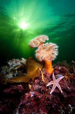 Plumose anemones (Metridium senile) and common starfish (Asterias rubens) beneath the sun in a Norwegian Fjord. Gulen, Bergen, Norway. North East Atlantic Ocean.