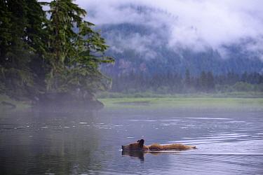 Juvenile Grizzly bear swimming in the estuary (Ursus arctos horribilis) Khutzeymateen Grizzly Bear Sanctuary, British Columbia, Canada, June 2013.