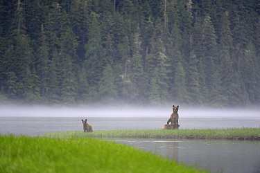 On a misty morning, female Grizzly bear (Ursus arctos horribilis) standing up in alert and looking around with her cubs for danger, while feeding on sedges, Khutzeymateen Grizzly Bear Sanctuary, Briti...