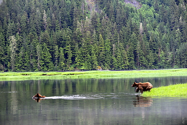 Female grizly bear (Ursus arctos horribilis) crossing water, followed by her two cubs, Khutzeymateen Grizzly Bear Sanctuary, British Columbia, Canada, June.