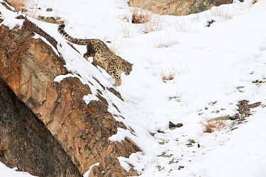Snow Leopard (Uncia uncia) walking down snow covered slope, Hemis National Park, Ladakh, India